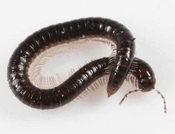 Millipede - Ophyiulus pilosus