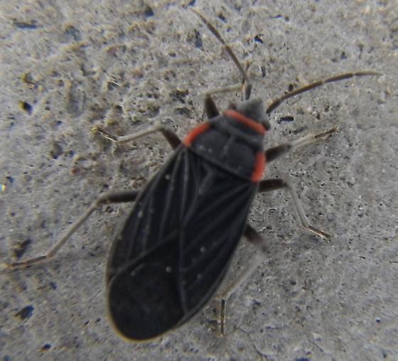Hemiptera 12.1.16 - Melacoryphus rubicollis