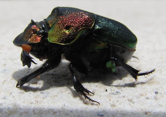 Unknown Rainbow Scarab with parasites - Phanaeus vindex