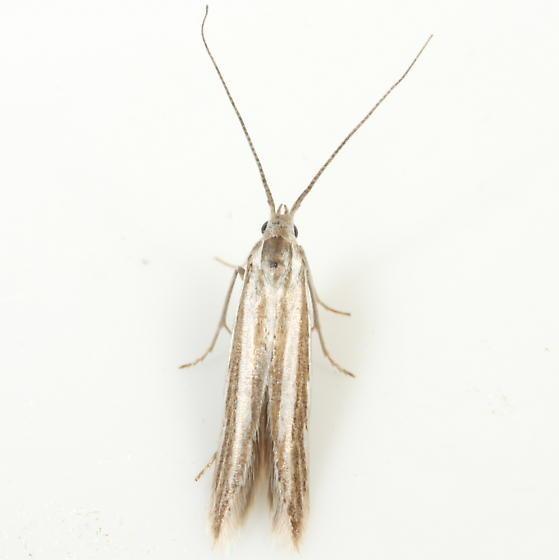 Coleophora - Coleophora bistrigella