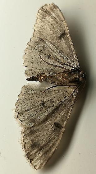 dead measurer - Iridopsis fragilaria - female