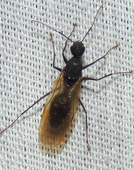 Termite? - Camponotus