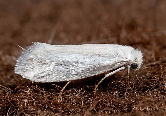 Prodoxinae