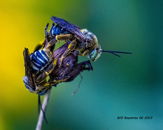 Long-horned Bees (Eucerini) » Svastra » Subgenus Epimelissodes (Svastra Subgenus Epimelissodes) - Svastra