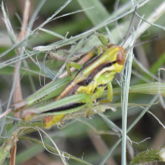 Grasshopper - Melanoplus