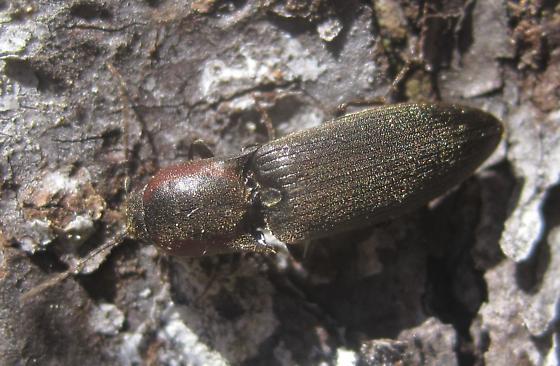 Monhegan click beetle - Agriotes fucosus