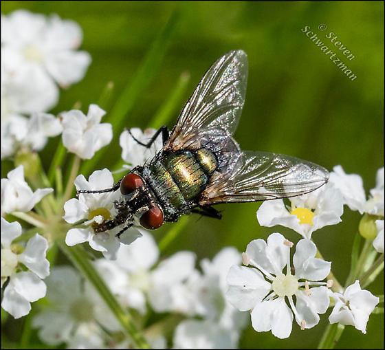 Fly on prairie bishop's weed flowers - Lucilia