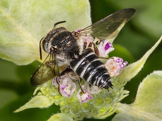 Cuckoo leafcutter bee (male) - Coelioxys sayi - male