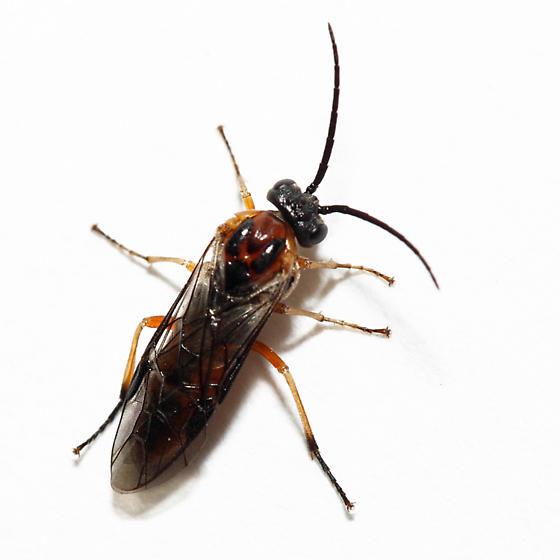 Sawfly - Dolerus