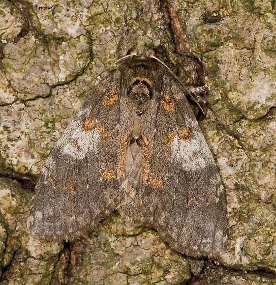 Moth from U Tennessee Field Station - Peridea angulosa