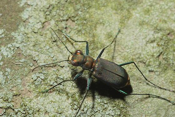 Cicindela rufiventris - Cicindelidia rufiventris