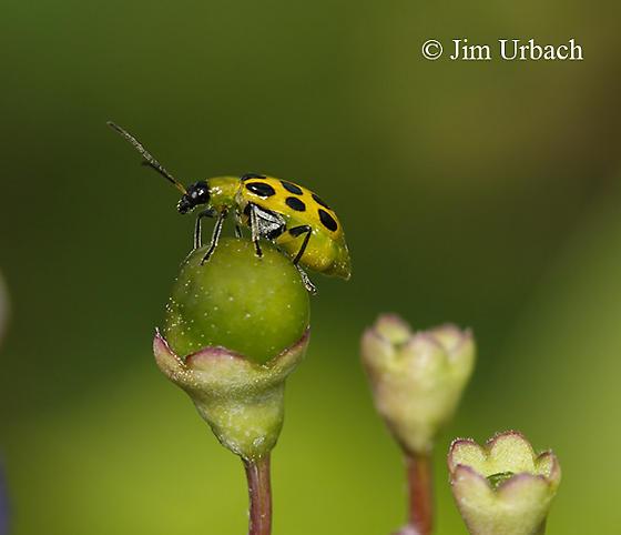 bug - Diabrotica undecimpunctata