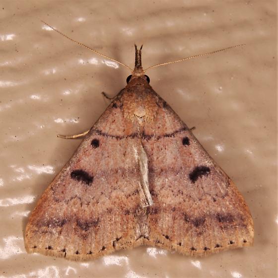 Renia nemoralis - Chocolate Renia Moth - Renia nemoralis
