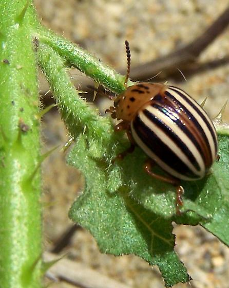 False Potato Beetle (Leptinotarsa juncta) - Leptinotarsa juncta - female