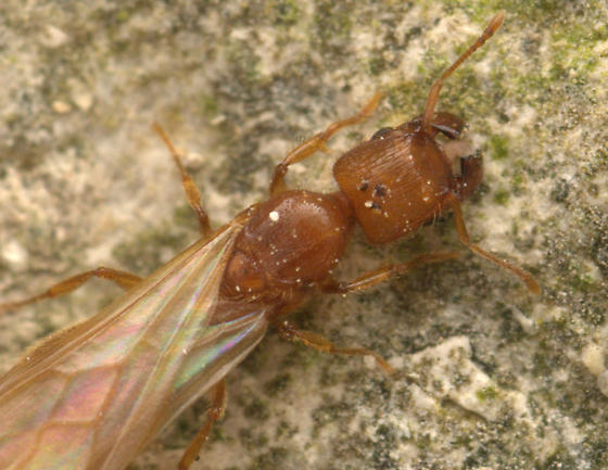 Pheidole pelor queen? - Pheidole pelor