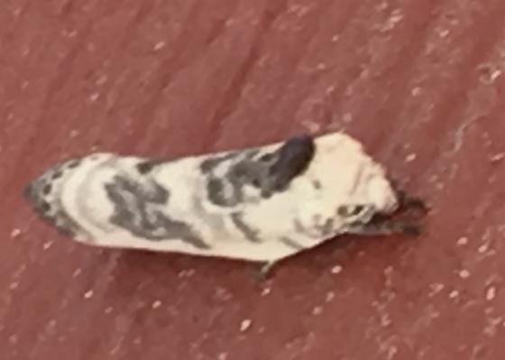 Bird poop moth?  - Antaeotricha
