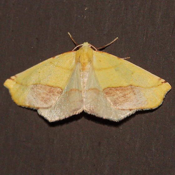 Yellow and brown geometrid - Sicya macularia