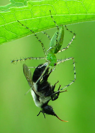 Green Lynx with prey - Peucetia viridans