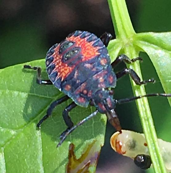 Predatory stink bug? - Apoecilus
