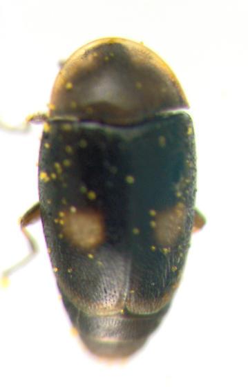 Corylophidae - Clypastraea lunata