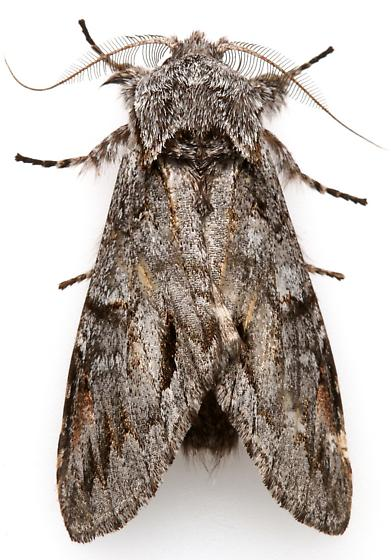 Male Macrurocampa dorothea?