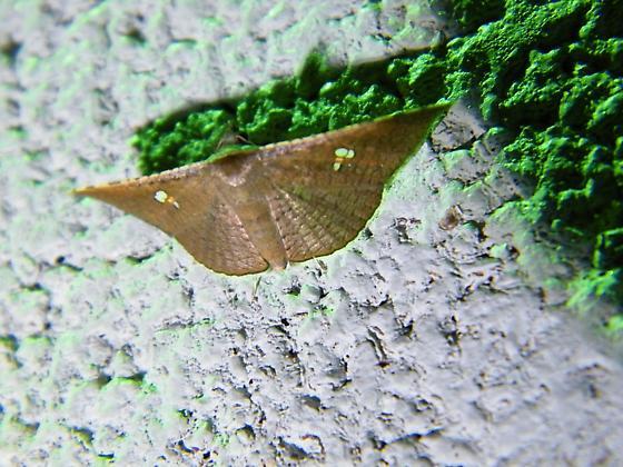 unknown moth - Banisia myrsusalis