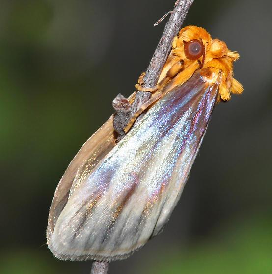 Eulithosia plesioglauca
