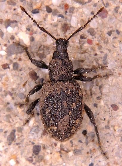 Unidentified weevil - Otiorhynchus