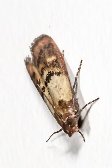Etonnant Kitchen Moth   Plodia Interpunctella