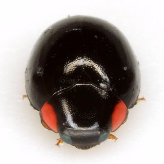 Hyperaspis bigeminata (Randall) - Hyperaspis bigeminata - female