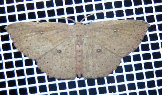 Cyclophora - female