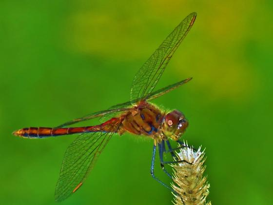 Saffron-winged Meadowhawk (Sympetrum costiferum) - Sympetrum costiferum - male