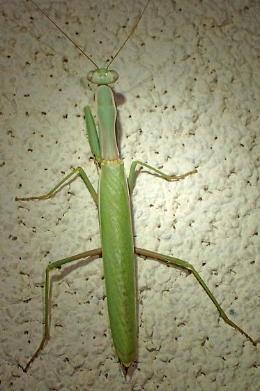 Adult mantid with pink on sides of thorax - Iris oratoria - male