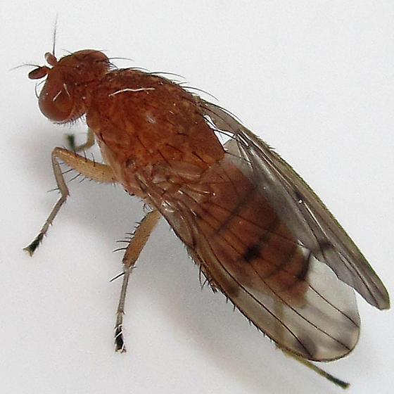 Suillia maybe female - Suillia quinquepunctata - female