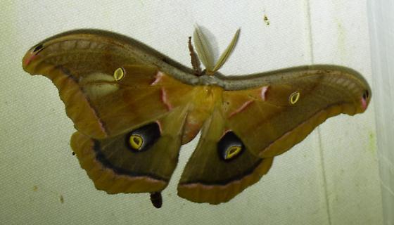 Antheraea polyphemus - Polyphemus Moth - Antheraea polyphemus