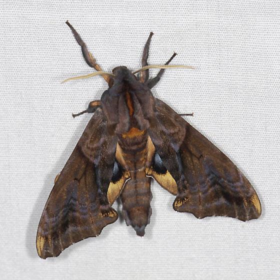 Paonias myops / Small-eyed Sphinx - Paonias myops