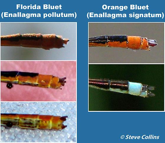Florida vs. Orange Bluet - Enallagma pollutum - male