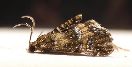 Elophila obliteralis