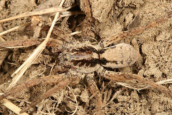 Wolf Spider - Gladicosa gulosa - male