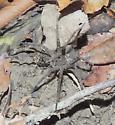unknown spider - Dolomedes vittatus