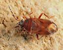 Dirt-colored Seed Bug - Antillocoris minutus