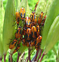 Lygaeidae, Large Milkweed Bug - Oncopeltus fasciatus