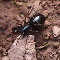Twobanded Antmimic - Castianeira cingulata - female