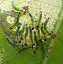 Caliroa sawfly larvae on red oak - New Brunswick - Caliroa