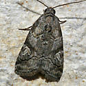 Unknown Noctuidae - Metaponpneumata rogenhoferi