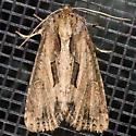 Four-lined Borer Moth - Resapamea stipata