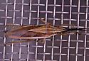 odd bug - Mecidea major