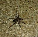 Another spider - Metaltella simoni