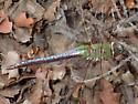 Unknown dragonfly - Anax junius