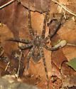 What kind of Spider is this? - Dolomedes tenebrosus
